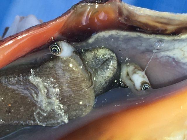 Sneglen i et af konkylierne - den kigger på os :-)